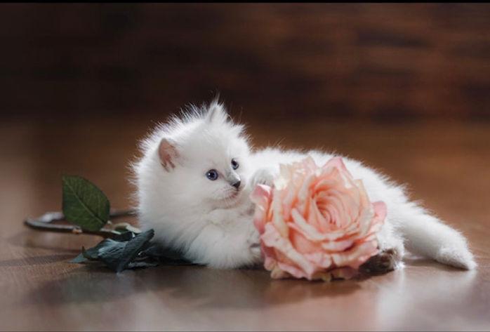 kitten rose.jpg