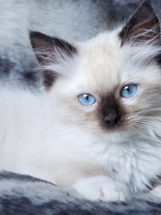 Seal Point Mitted Ragdoll