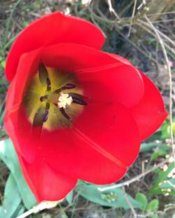 tuliperouge2
