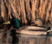 Male_and_Female_Mallard_Ducks_Public Dom