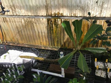 Caly's main stem saved at Lyon arboretum!