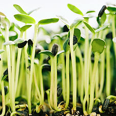 sprouts-1.jpg