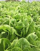 croxall lettuce.jpg