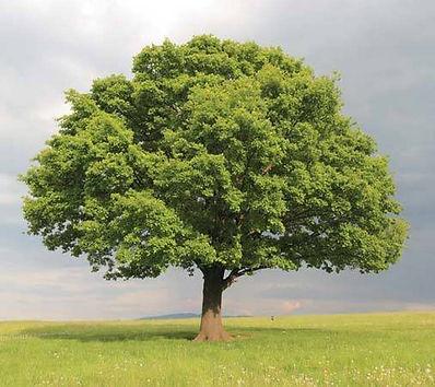 oak-trees__58118.1601661231.jpg