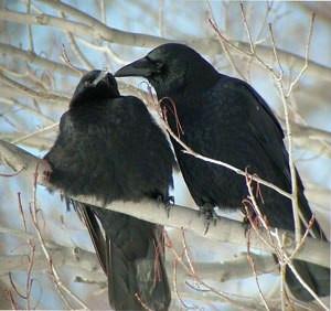 crowlovebirds