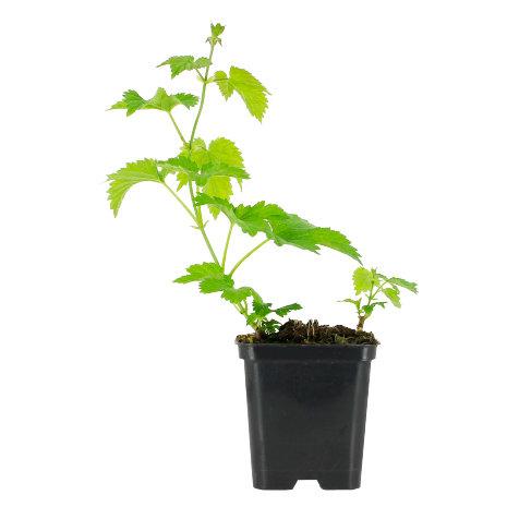 Plant de houblon COMET
