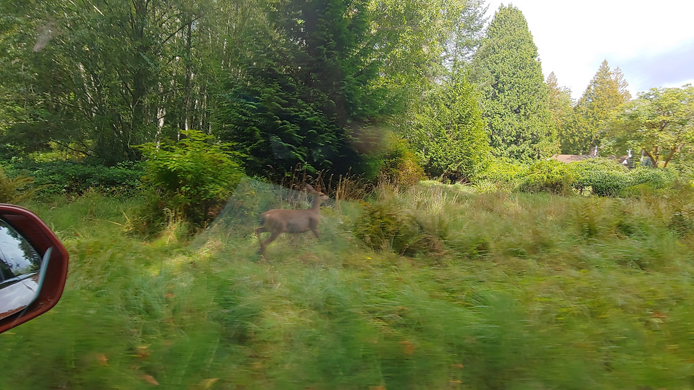 Deer crossing. The fawn stayed on the other side. Photo: John Quain