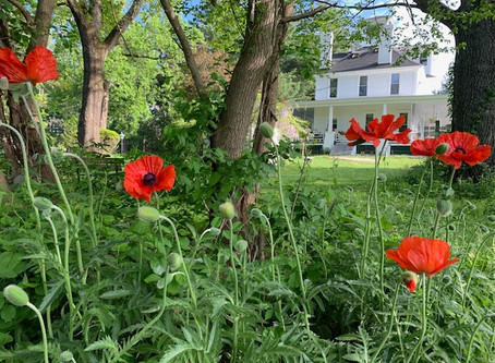 Poppies Purposely Pop On Memorial Day