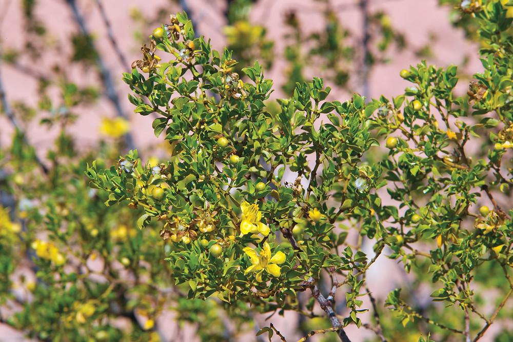 Color photo of the creosote bush.