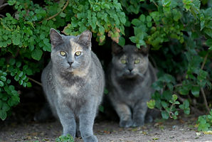 Two gray feral cats emerging from a bush
