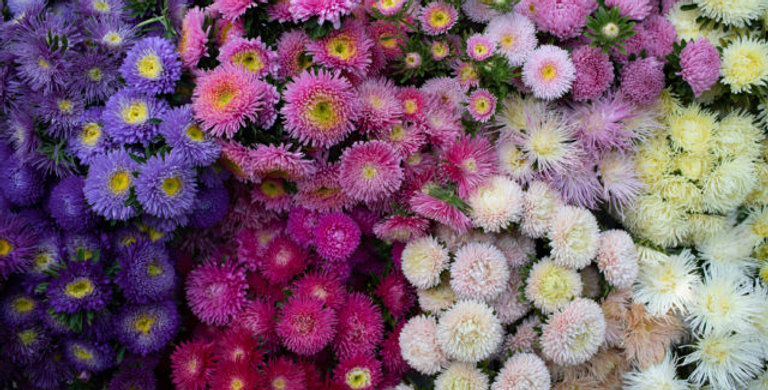 China Aster Bunch