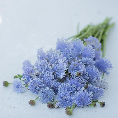 Lace Flower - Lacy Blue