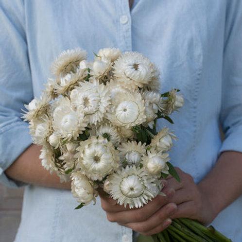 Strawflower - Vintage White