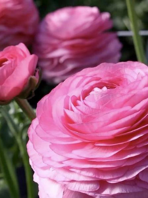 Ranunculus - Elegance Rosa 89-02