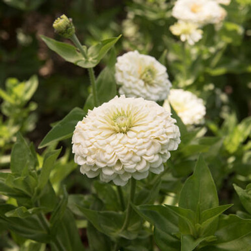 Zinnia - Benary's Giant White