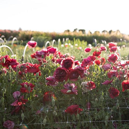 Poppies - Shirley Pandora