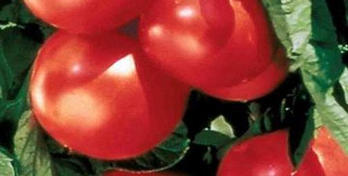 Tomato - Bonny Best