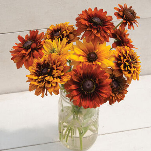 Rudbeckia - Cherokee Sunset Mix