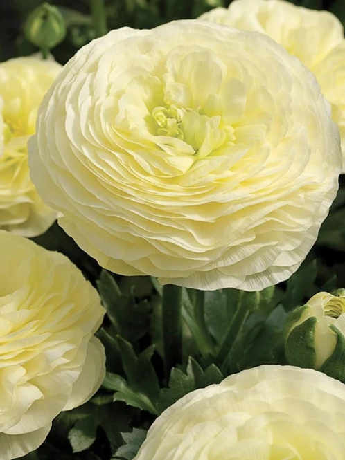 Ranunculus - Elegance Crema 43-99