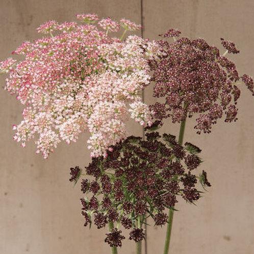 Daucus Seed - Dara Chocolate Lace Flower
