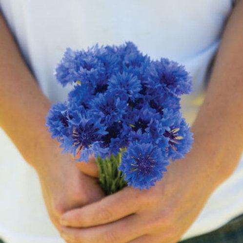 Centaurea - Florist Blue Boy
