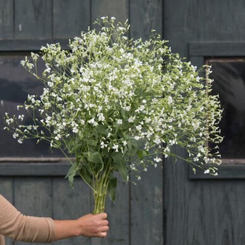 Saponaria - White Beauty