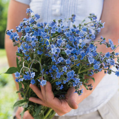 Cynoglossum - Chinese Forget-Me-Not