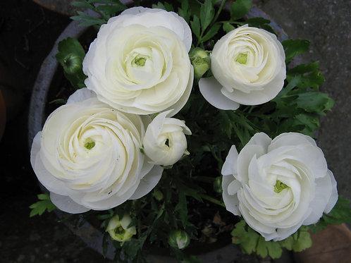 Ranunculus - Success Firenze