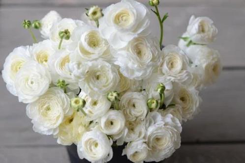 Ranunculus - Elegance Bianco