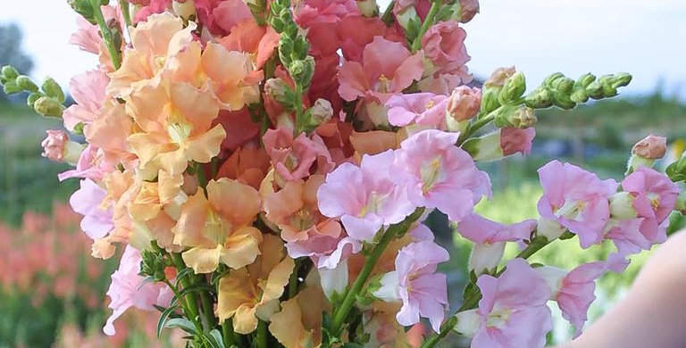Snapdragon Bunch