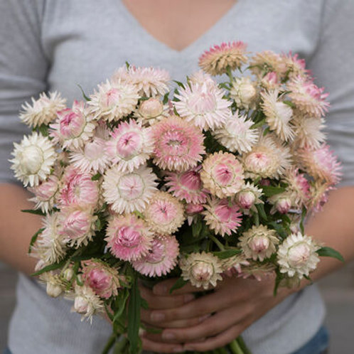 Strawflower - Silvery Rose