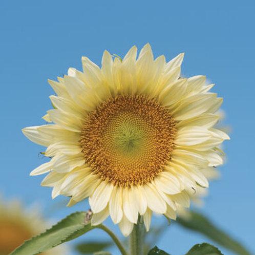 Sunflower - Procut, White Lite