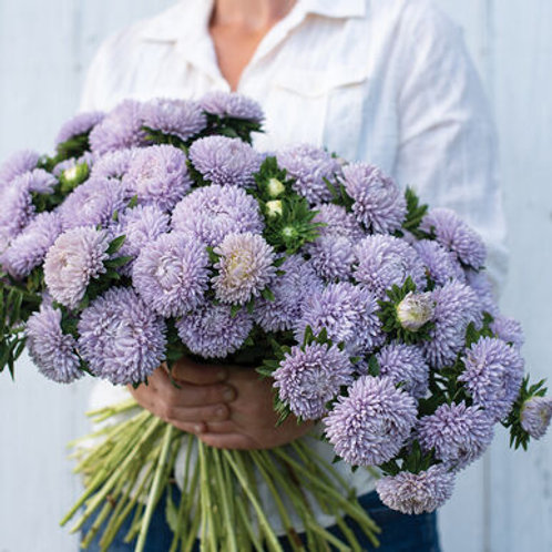 China Aster - Lady Coral Lavender