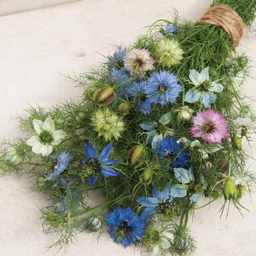 Nigella - Love-in-a-mist