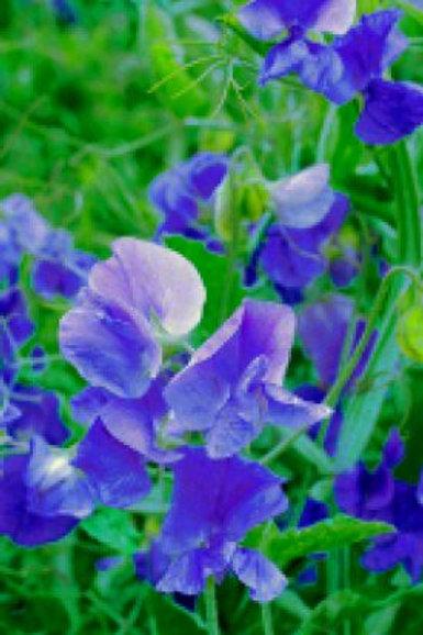 Sweet Pea - Royal Blue