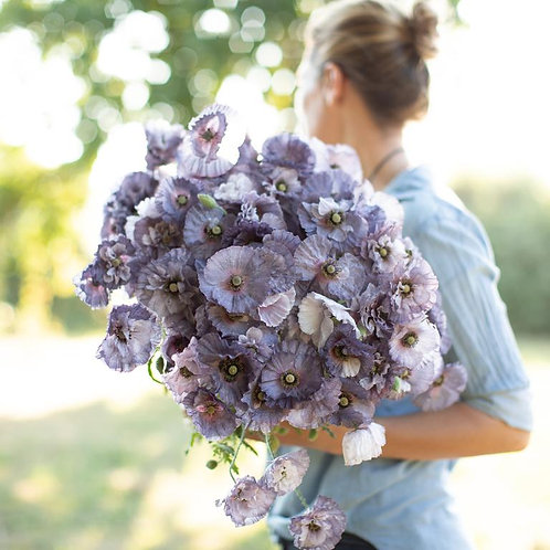 Poppies - Shirley Amazing Grey