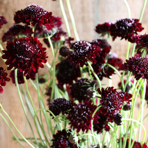 Scabiosa - Black Knight