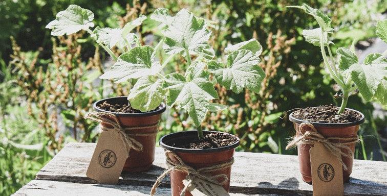 Heriloom Summer Squash Plants
