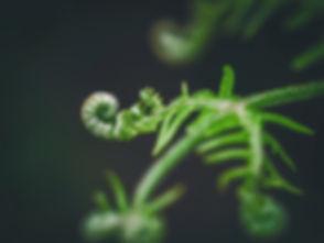 Green%20rolled%20fern%20macro%20shot%20(%20Osmundaceae%20)_edited.jpg