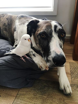 Budgie white and dog