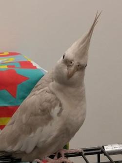 bird cockatiel grey