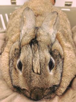 Rabbit beige