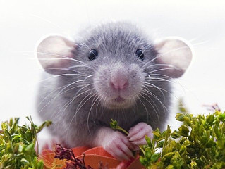 Mammary Cancer In Rats - What can we do to help prevent?
