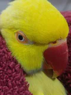 Parrot Yellow in towel