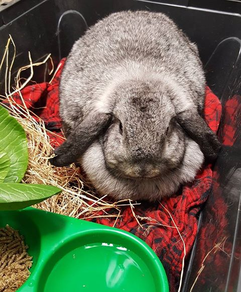 Rabbit Grey lop