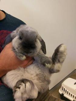 Rabbit lop grey 1