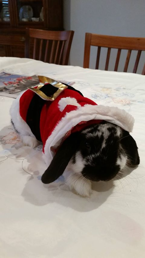 rabbit in xmas gear