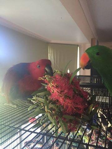 Parrots x 2