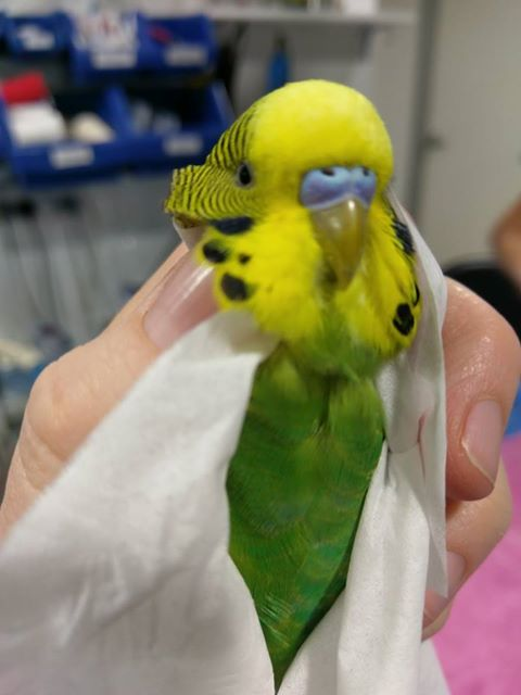 Budgie Yellow and Green