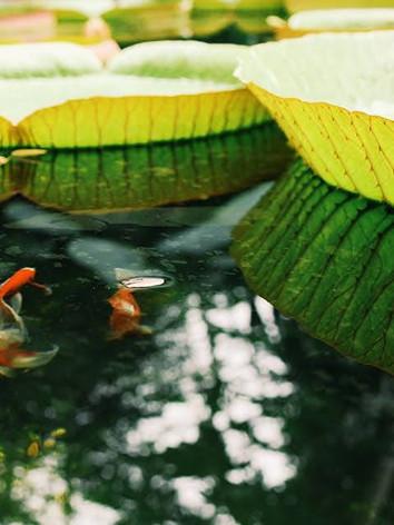 Fish pond in a botanical garden